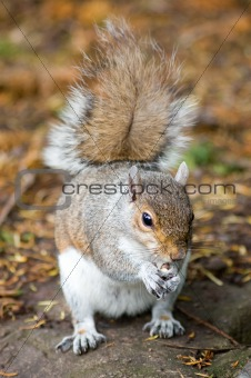 Grey squirrel eating , full body.