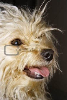 Portrait of mixed breed dog smiling.