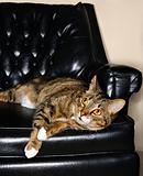 Tabby cat lying in a black leather chair.