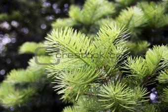 Backlit Fir Branch