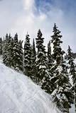 Snow-covered pine trees on mountain side.