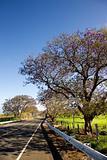 Road and Jacaranda tree in Haleakala National Park, Maui, Hawaii