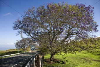 Road with Jacaranda tree in Maui, Hawaii.