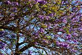Jacaranda tree in Maui, Hawaii