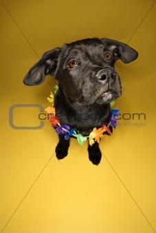 Black puppy sitting wearing lei.