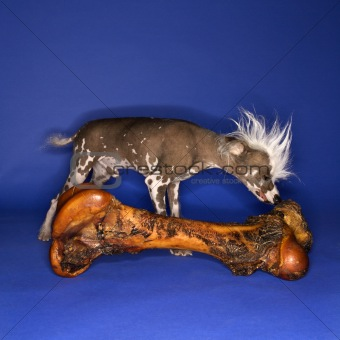 Chinese Crested dog smelling big bone.