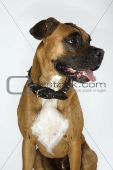 Boxer dog portrait.