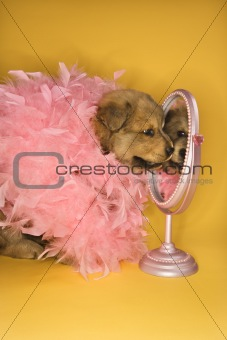 Puppy wearing pink feather boa in front of mirror.
