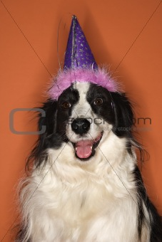 Black and white dog wearing party hat.