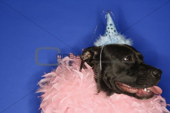 Black dog wearing party hat and feather boa.