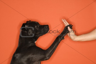 Black dog giving woman high five.