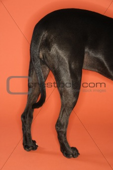 Black dog hind quarters.
