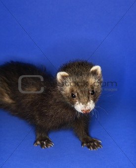 Portrait of brown ferret.