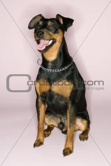 Portrait of Miniature Pinscher dog.