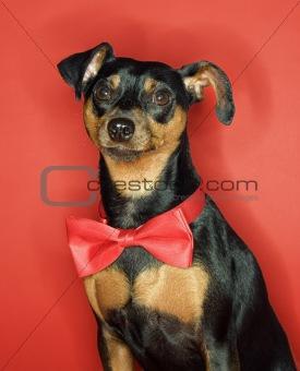Portrait of Miniature Pinscher dog with bowtie.
