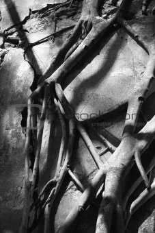 Close-up black and white of Banyan tree roots.