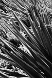 Close-up black and white of yucca plant.