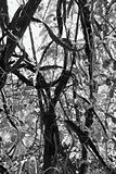 Black and white of tree with vines and grass.