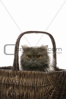 Gray Persian cat sitting in basket.