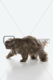 Gray Persian cat walking.