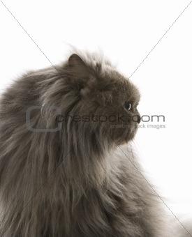 Gray Persian cat.