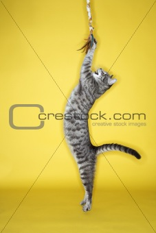 Gray striped cat  jumping attacking toy.