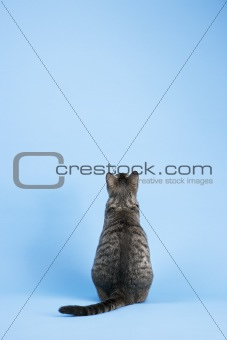 Back view of gray striped cat sitting.