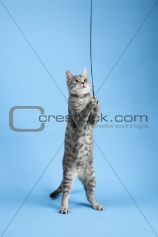 Gray striped cat standing playing with toy.