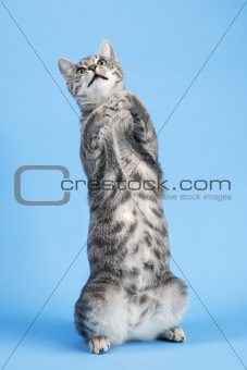 Gray striped cat standing on back haunches.