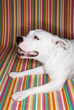 White dog against striped background.