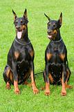 two sitting dobermans