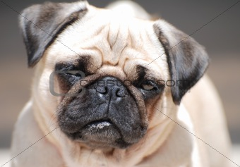 French Bull-Dog