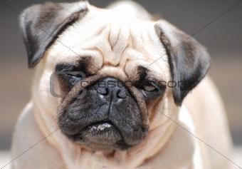 French Bull-Dog