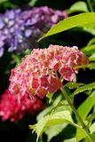Hortensia close