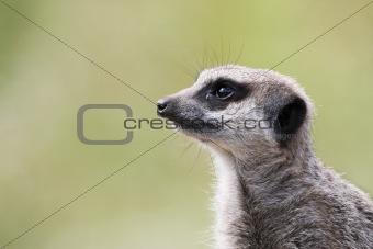 single meerkat looking out
