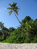 Palm tree on Seychelles beach