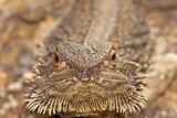 lizard looking into camera