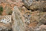 cheetah in rocks