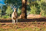 kangaroo enjoying morning sun
