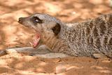 meerkat yawning wide open mouth and eyes rolled back