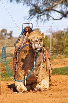 camel sitting with saddle