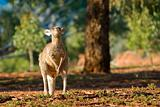 kangaroo head back