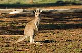 kangaroo looking at camera