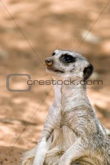 a meerkat sitting down