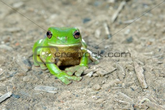 green tree frog on ground