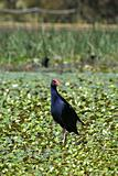 water hen in wetlands