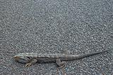bearded dragon on road