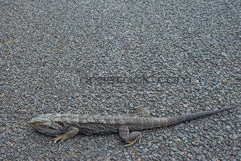 bearded dragon on road