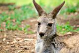 kangaroo sitting