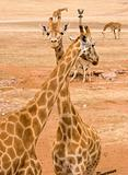 two giraffes together
